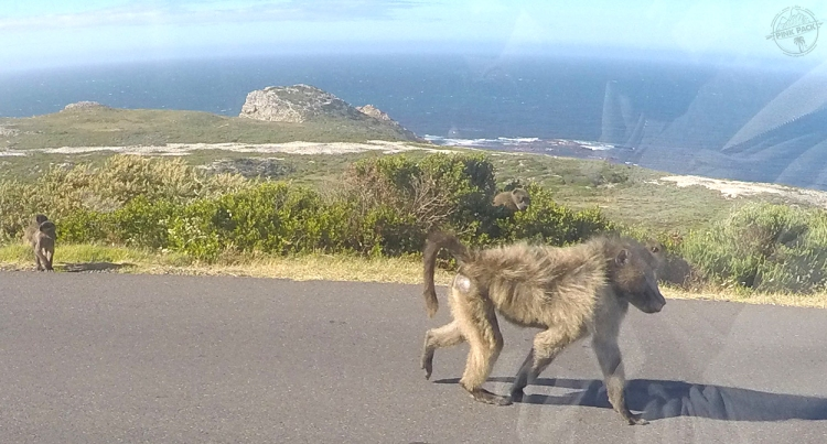 pink-pack_travel-diary_cape-town_baboons_11
