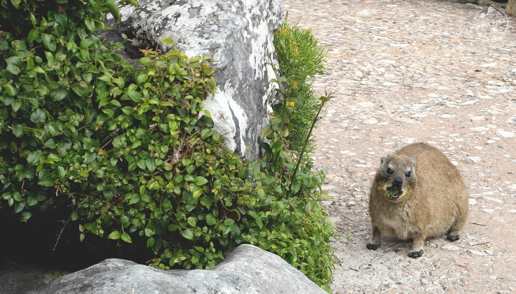 pink-pack_travel-diary_cape-town_table-mountain_dassie_8